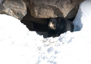 Black bear emerging from hibernation. Photo: Dan, Creative Commons, some rights reserved