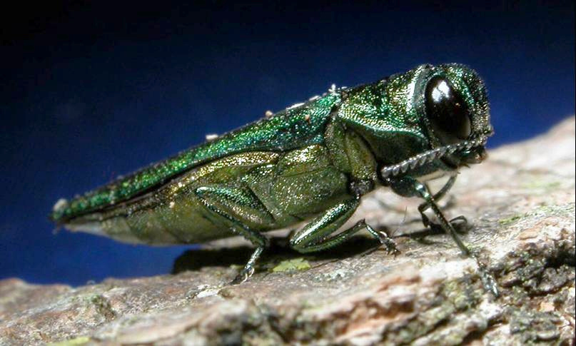The invasive emerald ash borer has all but wiped out ash trees wherever it has become established. Photo: USDA