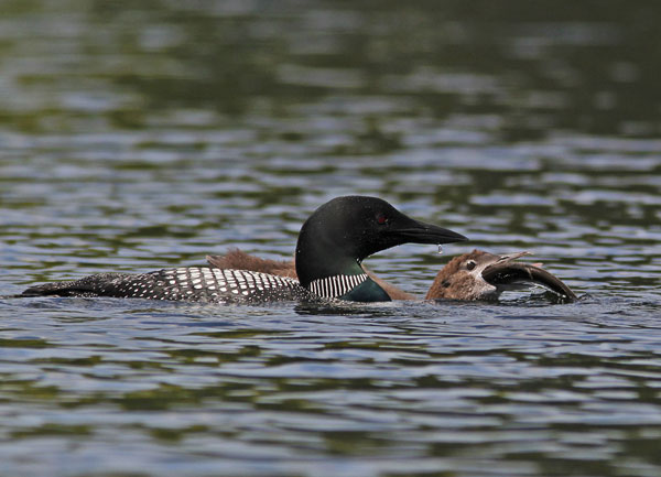 Young loon being home-schooled about the food chain. Photo: Joe Woody, Photo of the Day archive