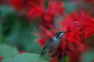 Hummingbirds, not bees are the main pollinators of beebalm. Photo: Gary Lee, Photo of the Day archive