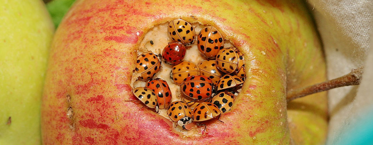 Do asian lady beetles bite