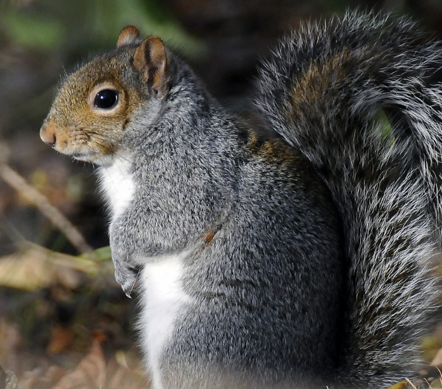 Now where's my nuts? The gray squirrel is not the sharpest knife in drawer. Photo: Ray Morris, Creative Commons, some rights reserved
