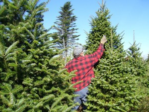 A Christmas tree grower prunes in October. The tree must experience three frosts to stabilize the needles before cutting. Photo: Madereugeneandrew, Creative Commons, some rights reserved