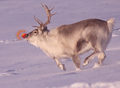 Reindeer displaying anatomical anomaly. Photo: Lomvi, Creative Commos, some rights reserved