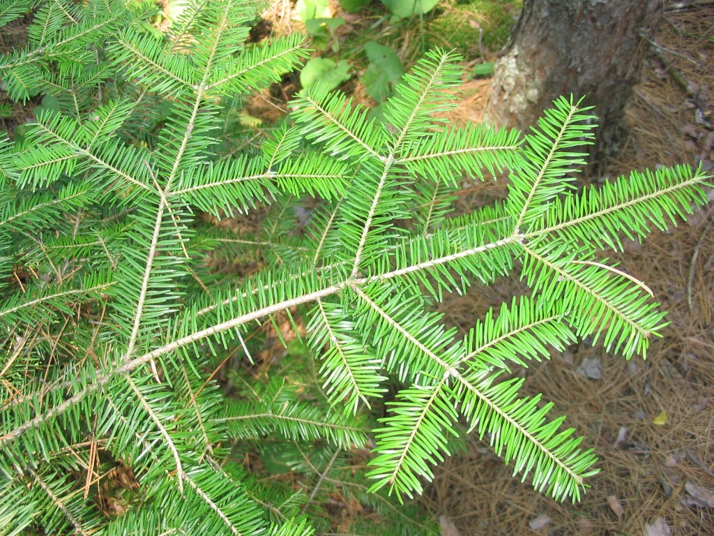 The powerful scent of balsam fir and other holiday evergreens helps to fix holidays in memory. Photo: Superior National Forest, Creative Commons, some rights reserved