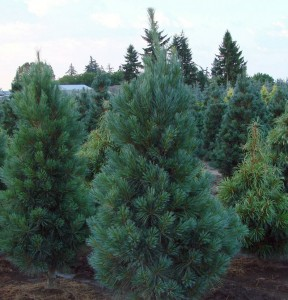 Pinus Strobus, the Eastern white Pine, is more fragrant than the Scots variety and has good needle retention. Photo: Obersinner Nursery, Creative Commons, some rights reserved