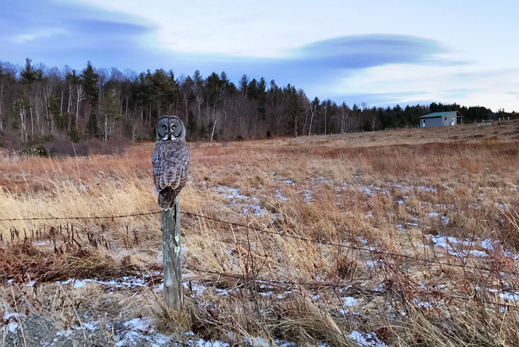 Rare Great Gray Owl surveils vole-laden fields at the Barkeater Lodge near Keene, NY. Photo of the Day, March 3, 2107: Larry Master
