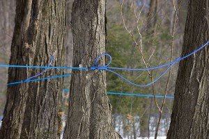 Forest-tent caterpillar defoliation can lead to maple sap sugar content of one-half percent, impractical to harvest. Photo: Michel Rathwell, Cornwall, ON, Creative Commons, some rights reserved