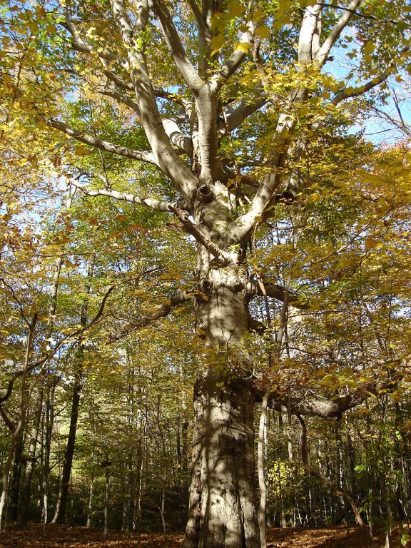 The sturdy, long-lived and stately American beech, Fagus grandifolia, in autumn. Photo: Marqqq, Creative Commons, some rights reserved