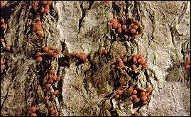 The double whammy comes when the Nectria fungus piles on. Photo: USDA