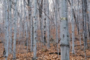 The beech's ability to stump and root sprout from dead mature trees creates dense thickets, inhibiting other tree species. Photo: New Hampshire Div. of Lands and Forest.