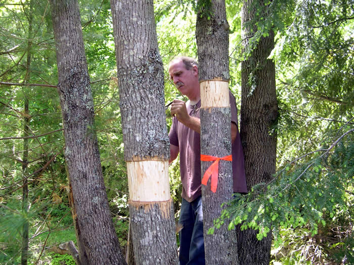 Ash trees are girdled to attract the emerald ash borer. Photo:  Maine Forest Service