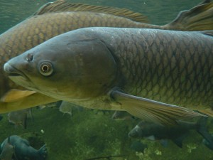 Grass carp. Photo: Peter Halasz, Creative Commons, some rights reserved