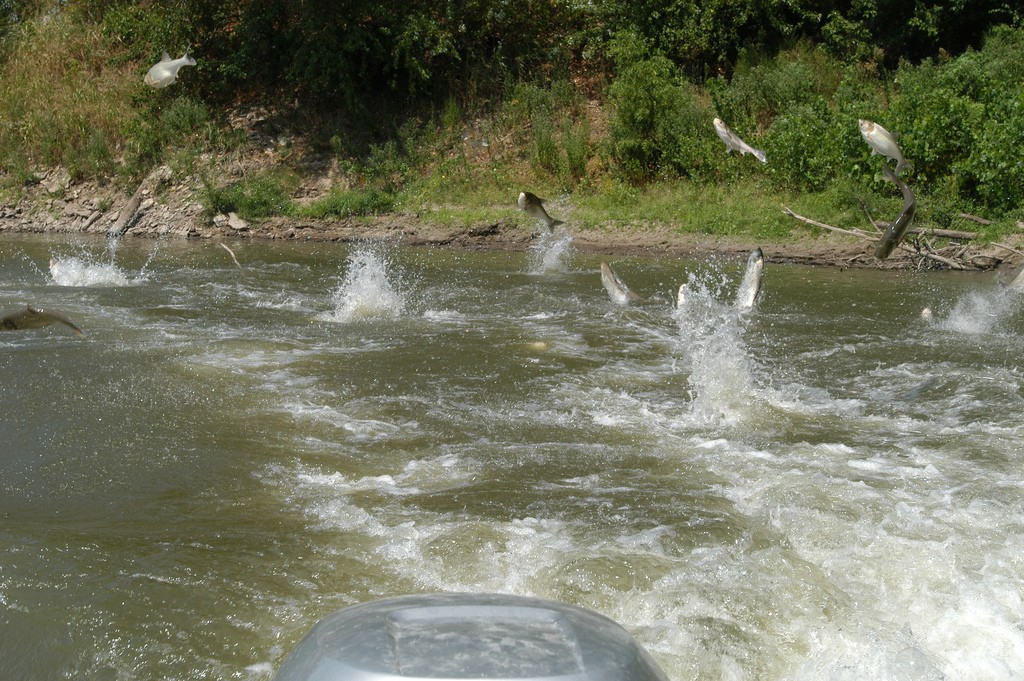 School of jumping silver carp. Photo: Jason Jenkins, Creative Commons, some rights reserved