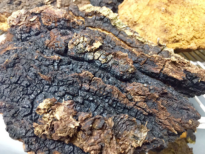 Once harvested, chaga conks, which look like burnt charcoal, are allowed to dry before being ground into powder. Photo: Todd Moe