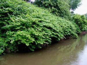 Wall of knotweed along a waterway. Photo: Roger Kidd, Creative Commons, some rights reserved