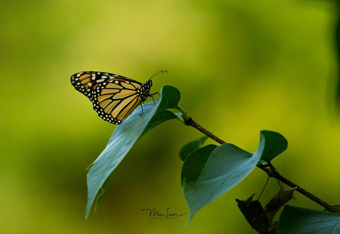 Monarch butterfly sighted in my backyard during a summer BBQ. Photo: Rod MacIvor, Ottawa