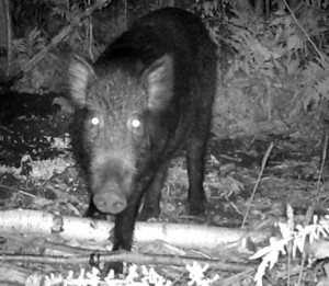 Creepy picture of a feral pig taken by NYS DEC in Peru, NY, September 2011.