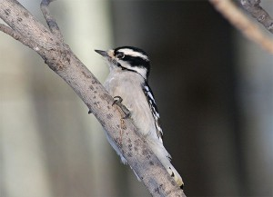 Downy Woodpecker (winner) on a black ash (loser). Photo: Marylylle Soveran, Creative Commons, some rights reserved