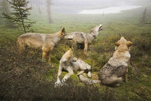 Wolves in Algonquin Park. Photo: JDB Photos, Creative Commons, some rights reserved