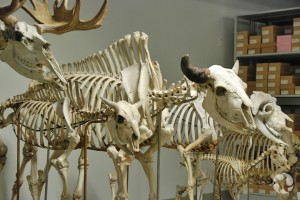 Moose, American bison and muskox skeletons in the museum's vertebrate collection. Roger Baird © Canadian Museum of Nature