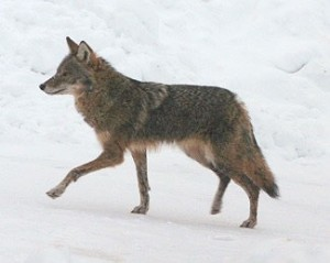 What we call the eastern coyote is a coyote gray wolf hybrid. Photo: Dana Moos, creative commons, some rights reserved