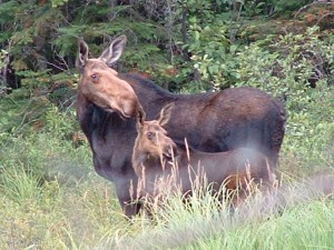 Study shows that Coyotes prey on adult moose as well as calves. Photo: Tim Redpath, creative commons, some rights reserved