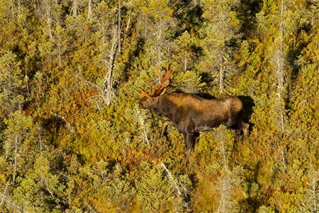 A bull moose in Massawepie Mire (image taken from the air). Archive NCPR Photo of the Day 10/4/13: Larry Master.