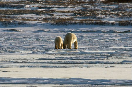 Migrating polar bears near Churchill, Manitoba. Photo: Valerie, Creative Commons, some rights reserved