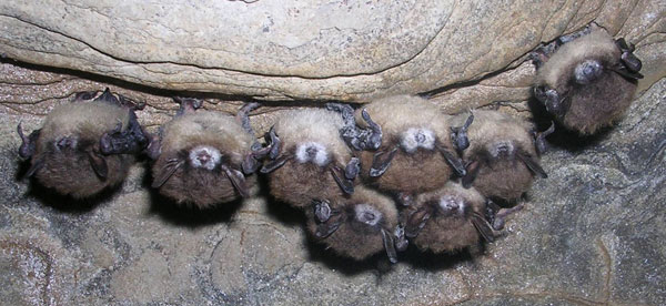 Bats infected with White-nose Syndrome in Hailes Cave, Albany County, NY. Photo: Nancy Heaslip, NYS DEC