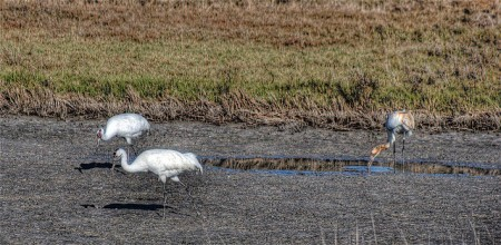 Whooping Cranes are among the rebounding threatened species. This family group is at its nesting ground in Wood Buffalo National Park in northeastern Alberta. Photo: Angi English, Creative Commons, some rights reserved