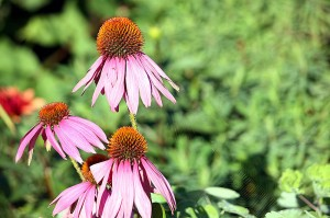 Echinacea purpurea (eastern purple coneflower or purple coneflower) Source: Wikipedia