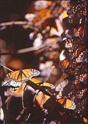 Migrating monarchs in Mexico. Photo Brian Mann