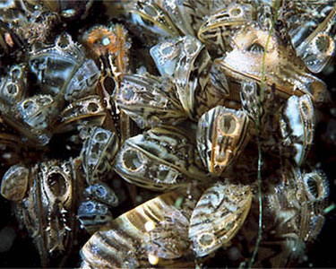 Zebra Mussels. Photo: GeraldM, Creatuve Commons, some rights reserved