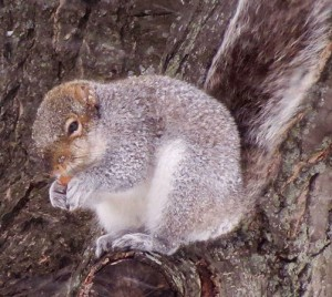 Friday's Photo of the Day tells the story--Squirrel huddles with a frozen acorn in the lee of an oak tree during 35-mph winds at the height of the storm yesterday. Photo: Alice Connors, Cumberland Head, NY