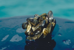 Zebra mussel cluster. Photo: D. Jude, Univ. of Michigan, via  NOAA Great Lakes Environmental Research Laboratory, Creative Commons, some rights reserved