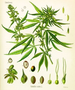 Cannabis as illustrated in Kohler's book of medicinal plants from 1897. Source: Wikipedia