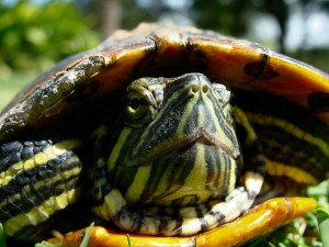 A red-eared slider. Image by Nightryder84, Creative Commons