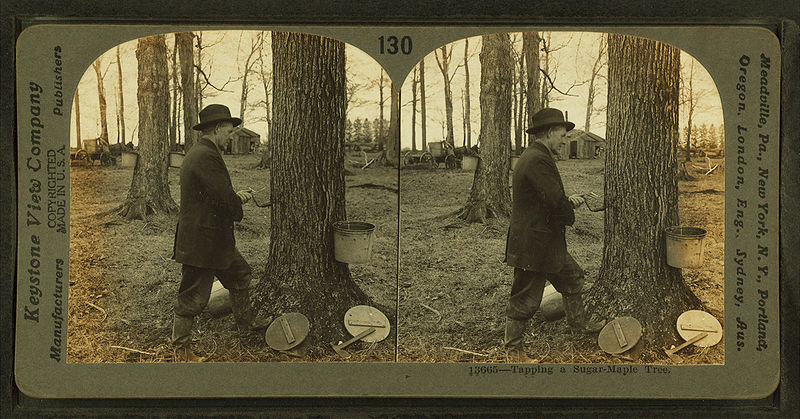 Tapping a sugar-maple tree, Ohio. Keystone View Company -- Publisher, Creative Commons